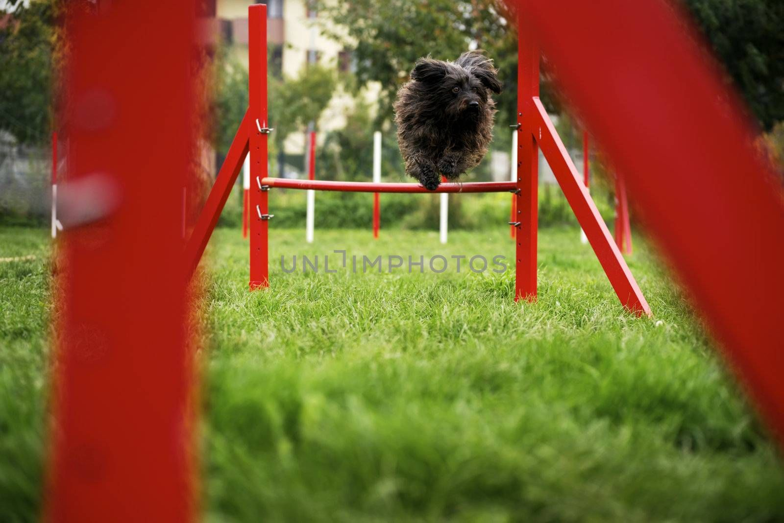 Pets racing in competition, agility race with dog jumping over red hurdle