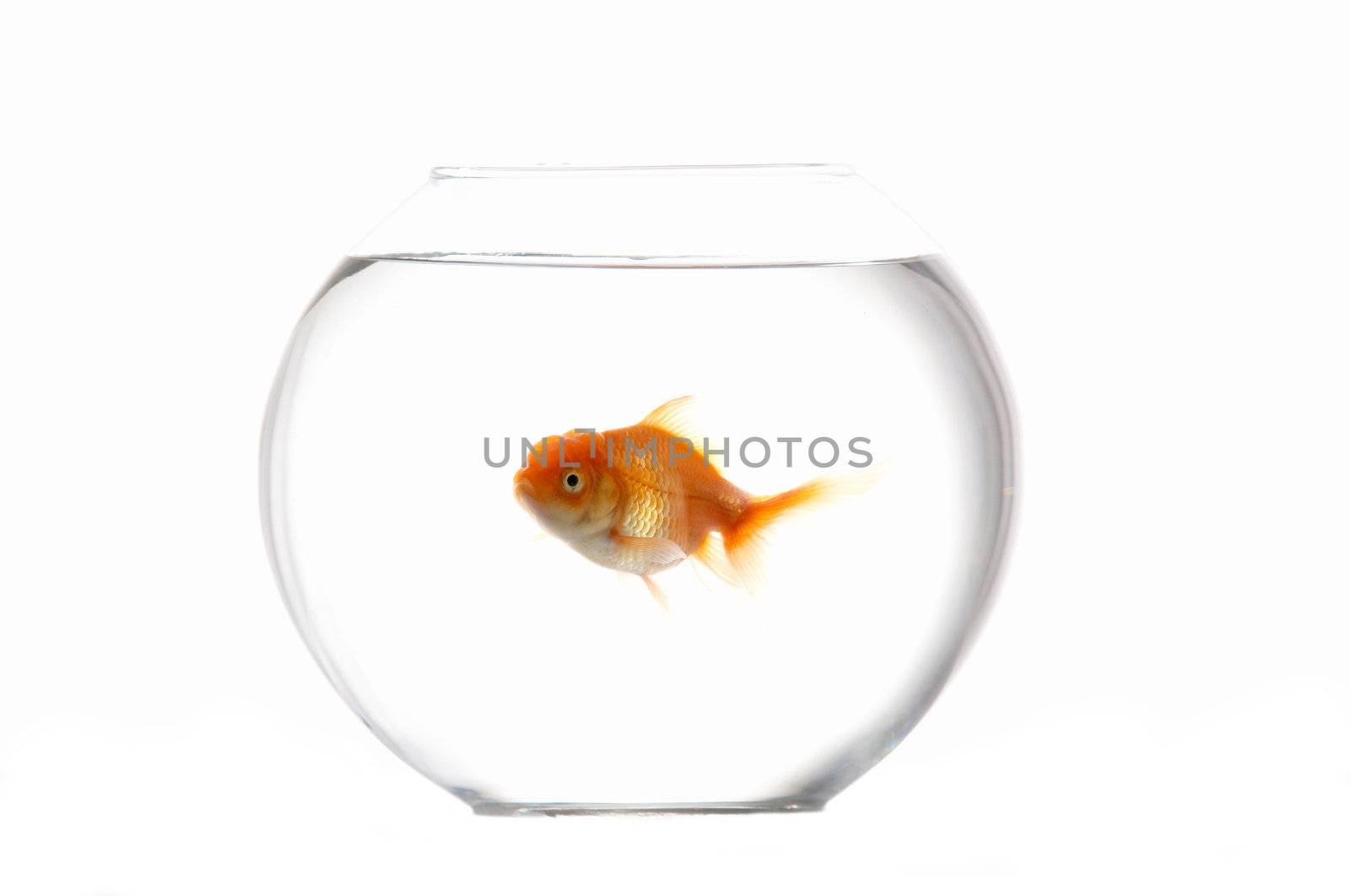An image of goldfish in aquarium