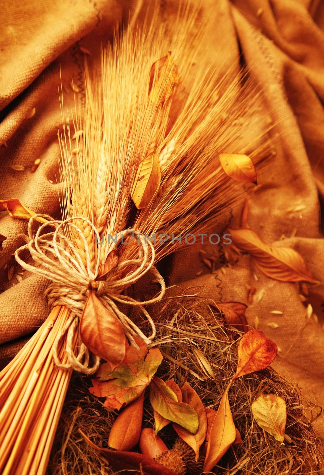 Autumn wheat background with leaves