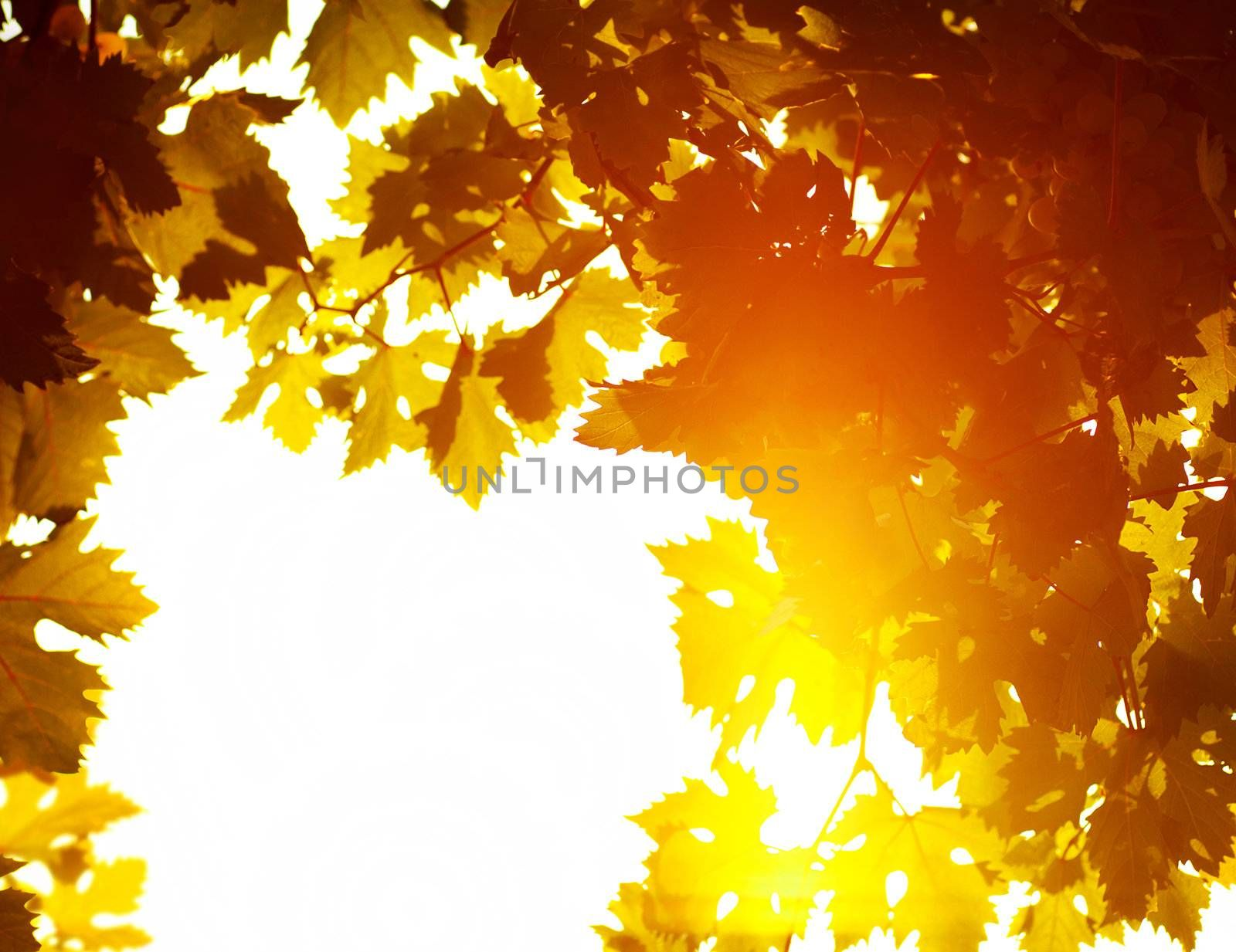 Autumn leaves frame, photo of sunlight through fresh grape leaves, natural background, orange autumnal foliage border, winery industry, copy space, trees in the fall and bright yellow sun beam