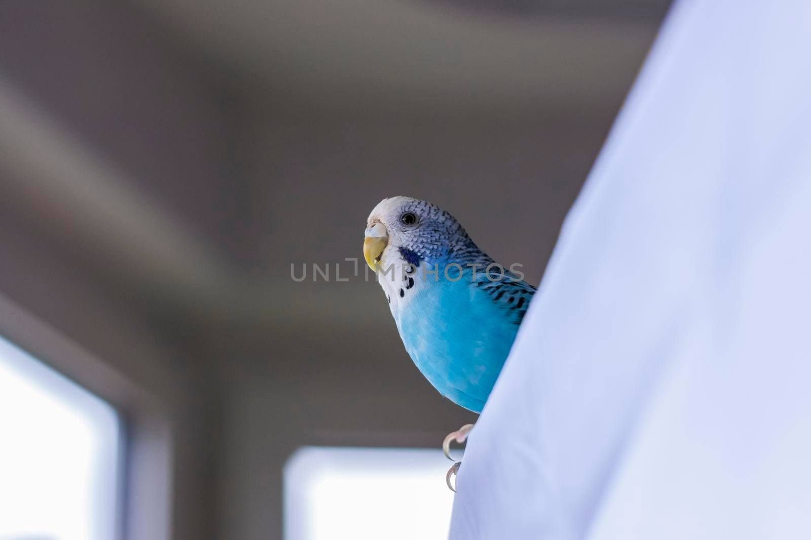A beautiful blue budgie. Tropical birds at home. Feathered pets at home.