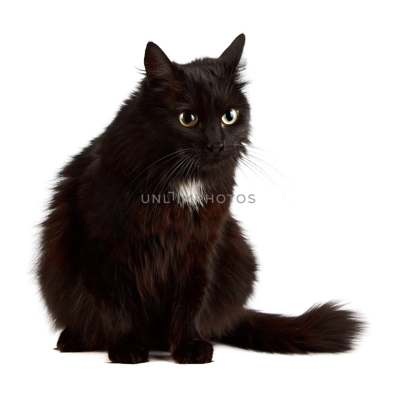The black cat sits on a white background