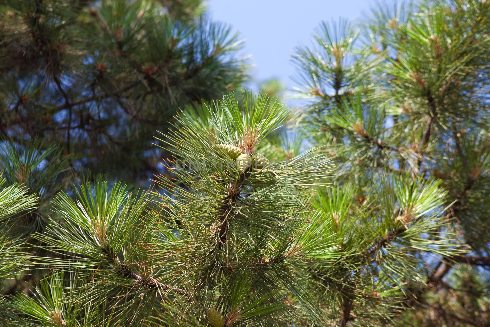 pinecones outdoors