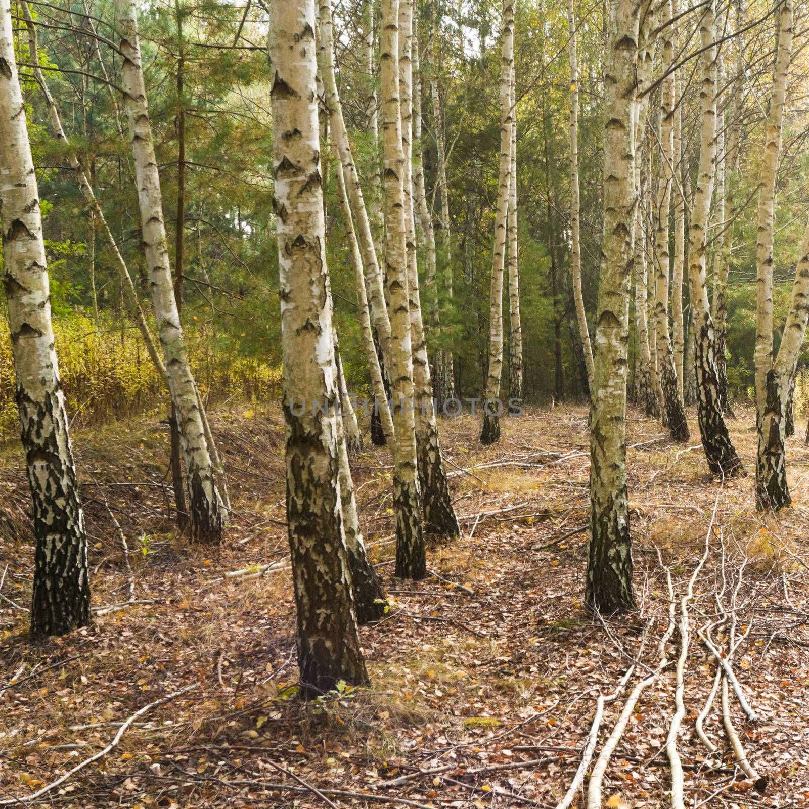 Grove of birch trees in fall color