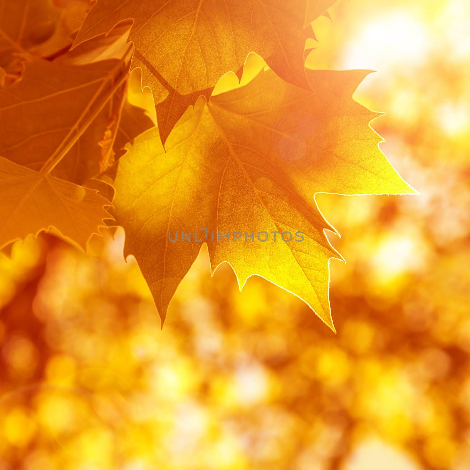 Abstract autumn background, old orange maple leaves, dry tree foliage, soft focus, autumnal season, changing of nature, bright sunlight