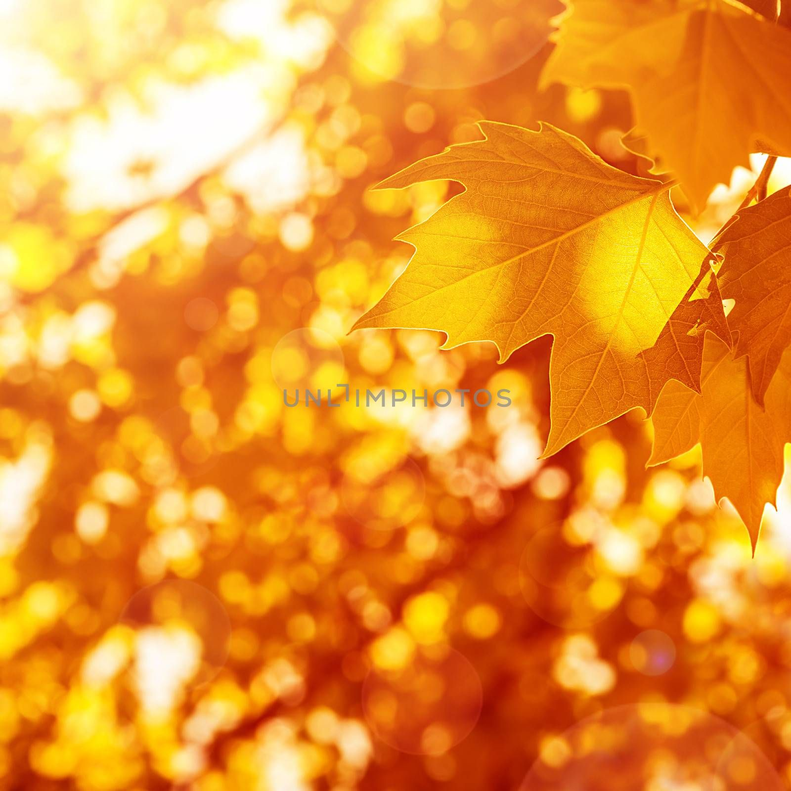 Autumnal leaves background, sunny day, old dry foliage in the park, weather changes, fall season, maple leaf, autumn nature
