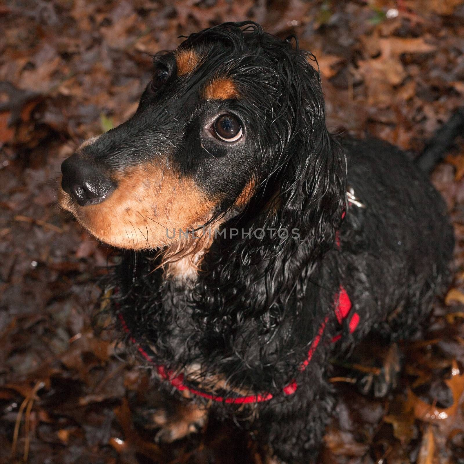 Dog is not happy when he's sitting in the rain