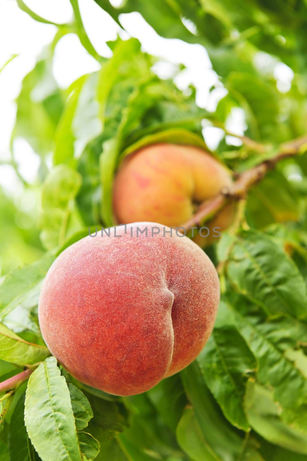 Ripe peaches ready to pick on tree branches