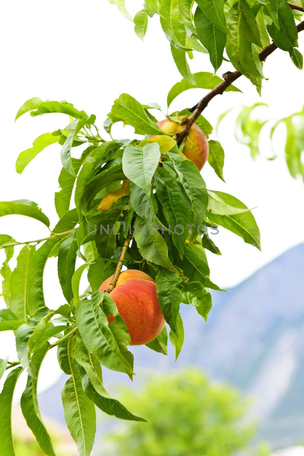 Ripe peaches ready to pick on tree branch