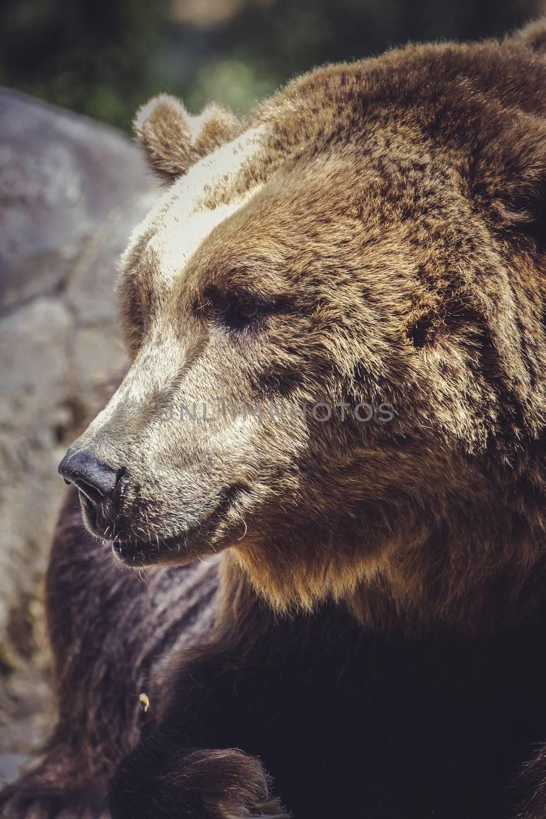 danger, Spanish powerful brown bear, huge and strong  wild animal