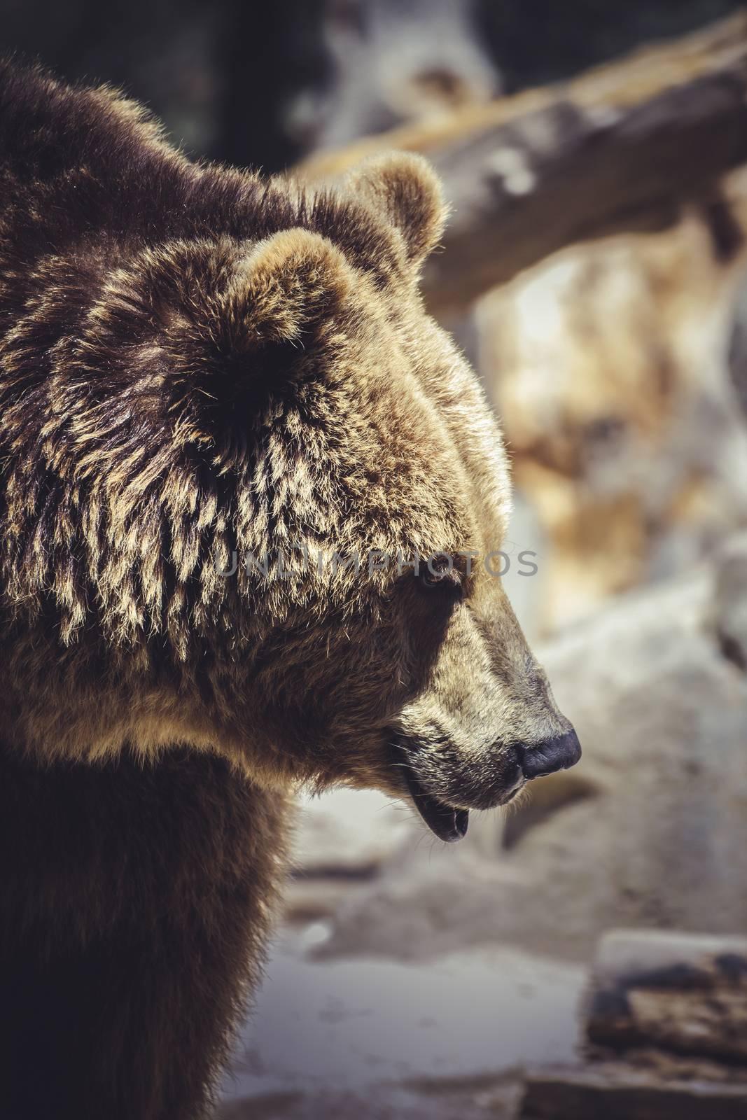 mammal, Spanish powerful brown bear, huge and strong  wild animal