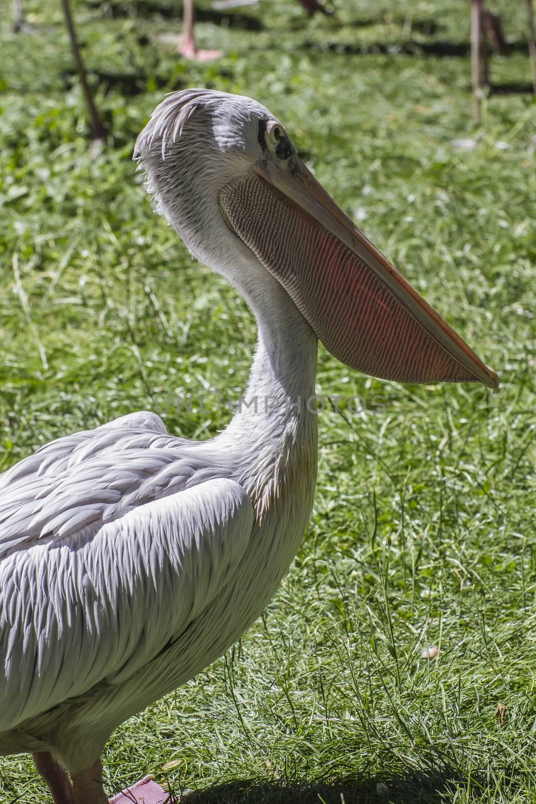 summer pelican, bird with huge beak