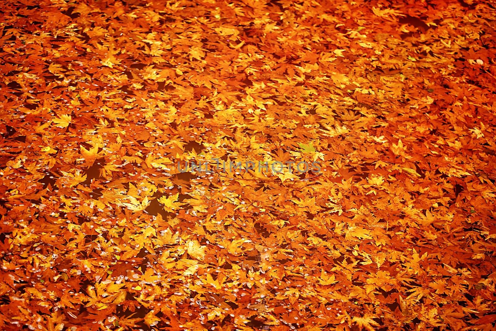 Abstract autumn leaves background, dry orange maple leaf floating in forest river, beauty of a nature at fall season