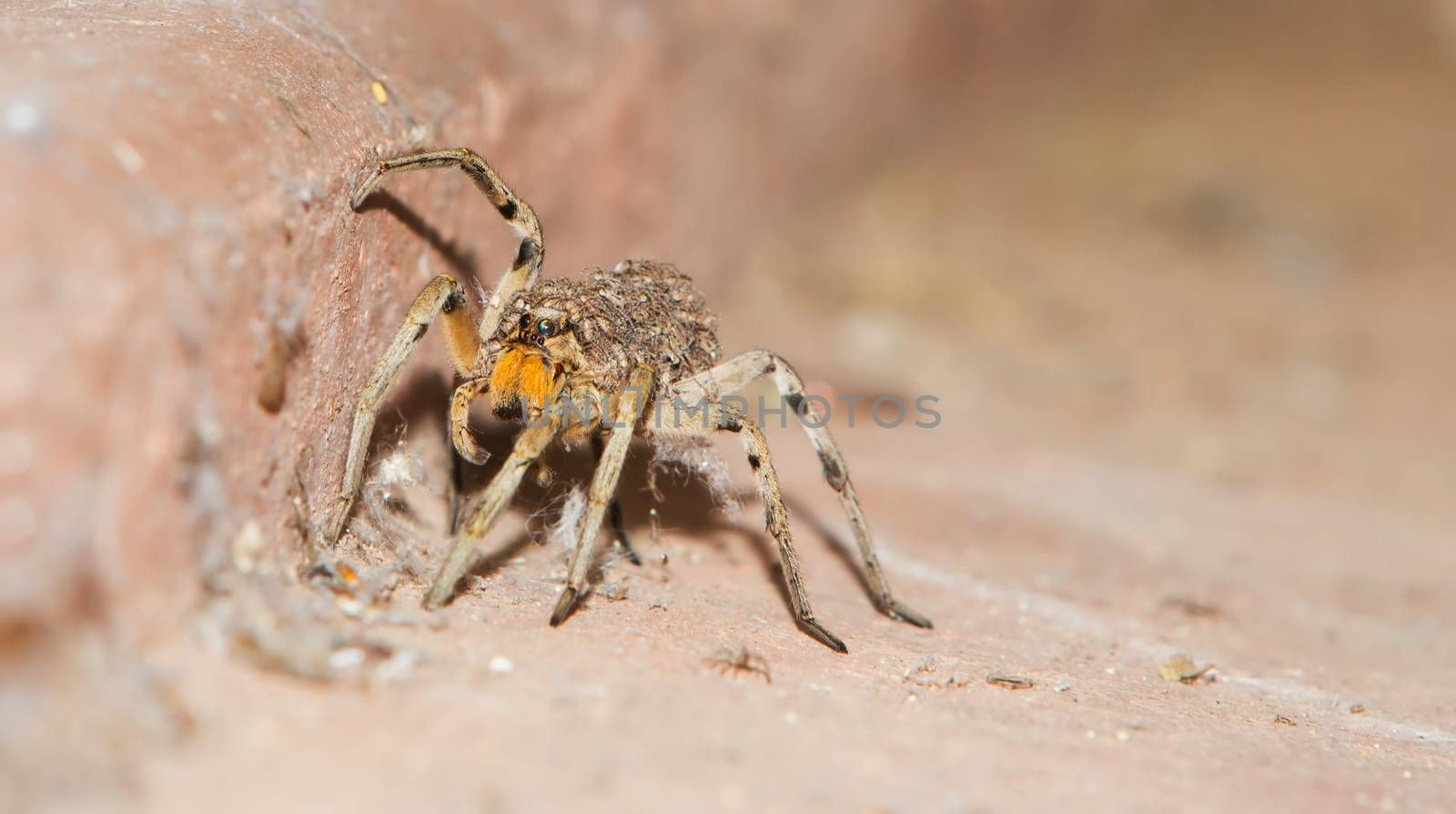 Baby spiders on back of mother crawling on floor