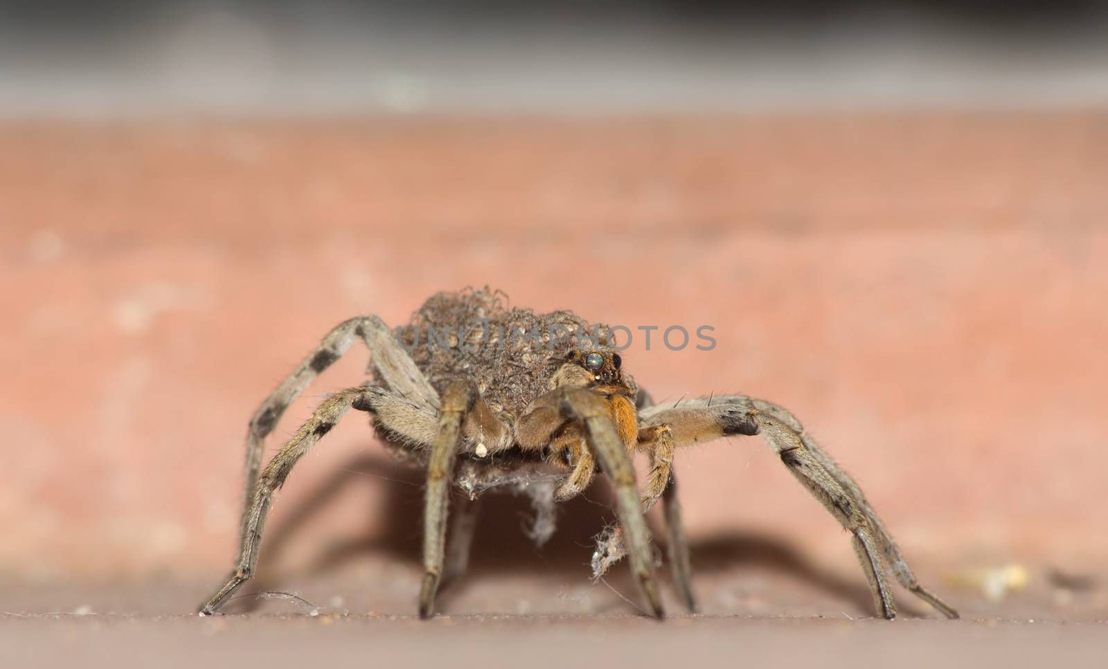 Close up of female wolf spider with babies on back