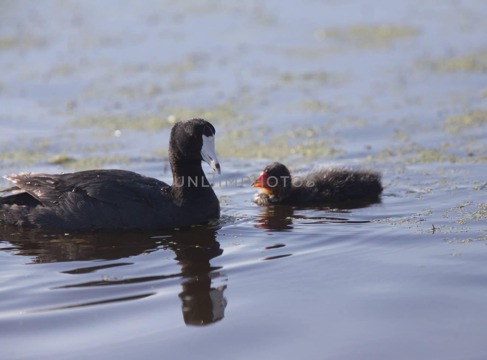 American Coot Waterhen and Babies in Marsh Canada