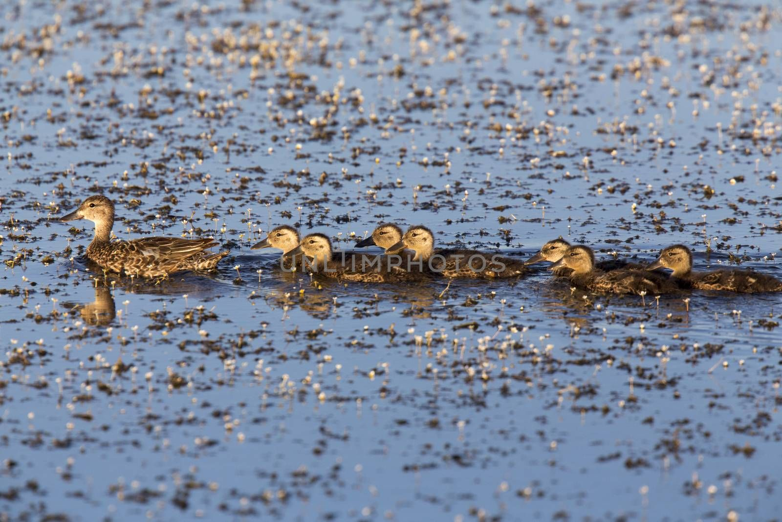 Mother Duck and Babies in a row Canada