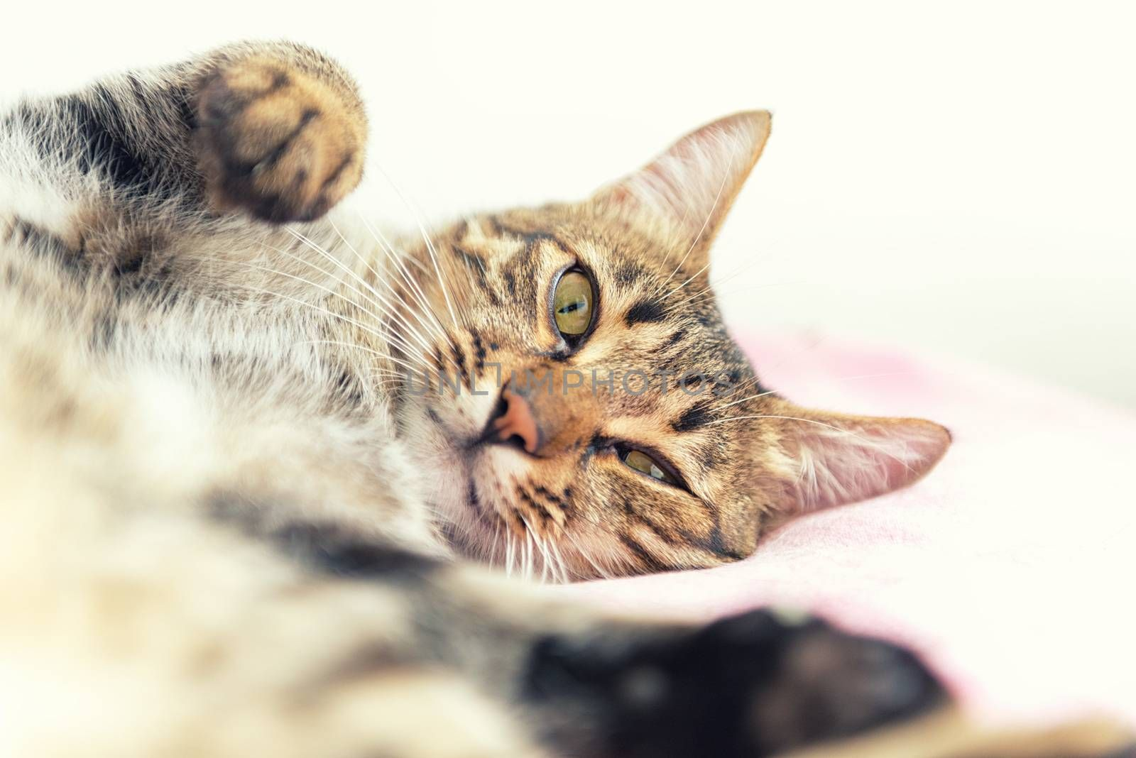 The tabby cat relaxing on the bed