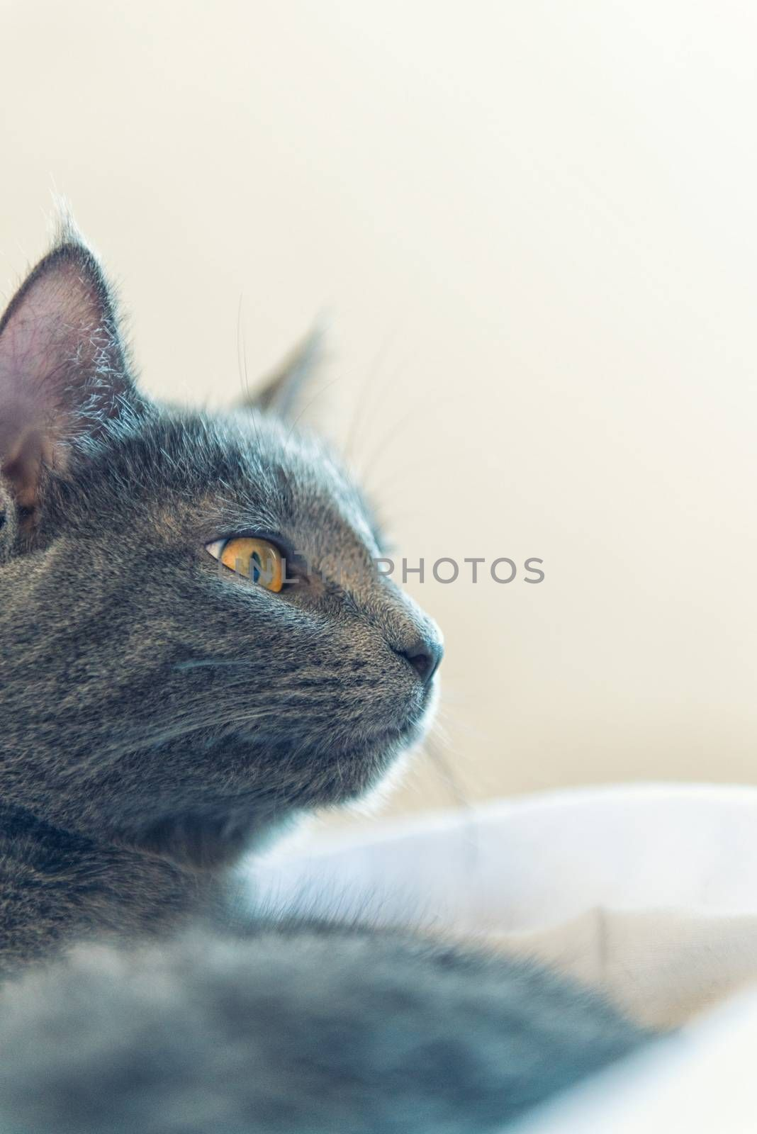 Gray cat with yellow eyes stay on bed