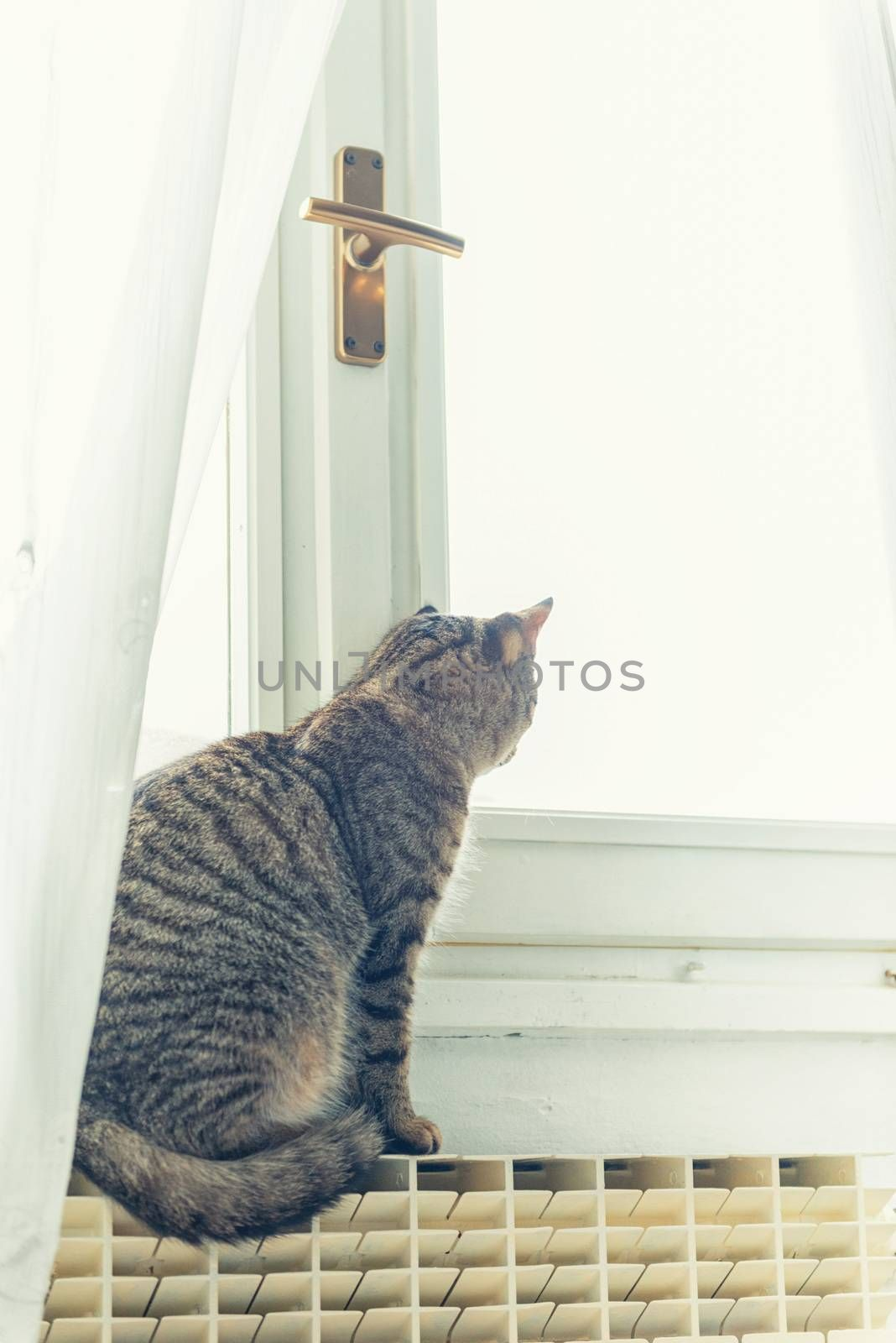 Tabby cat with yellow eyes looking to the windows