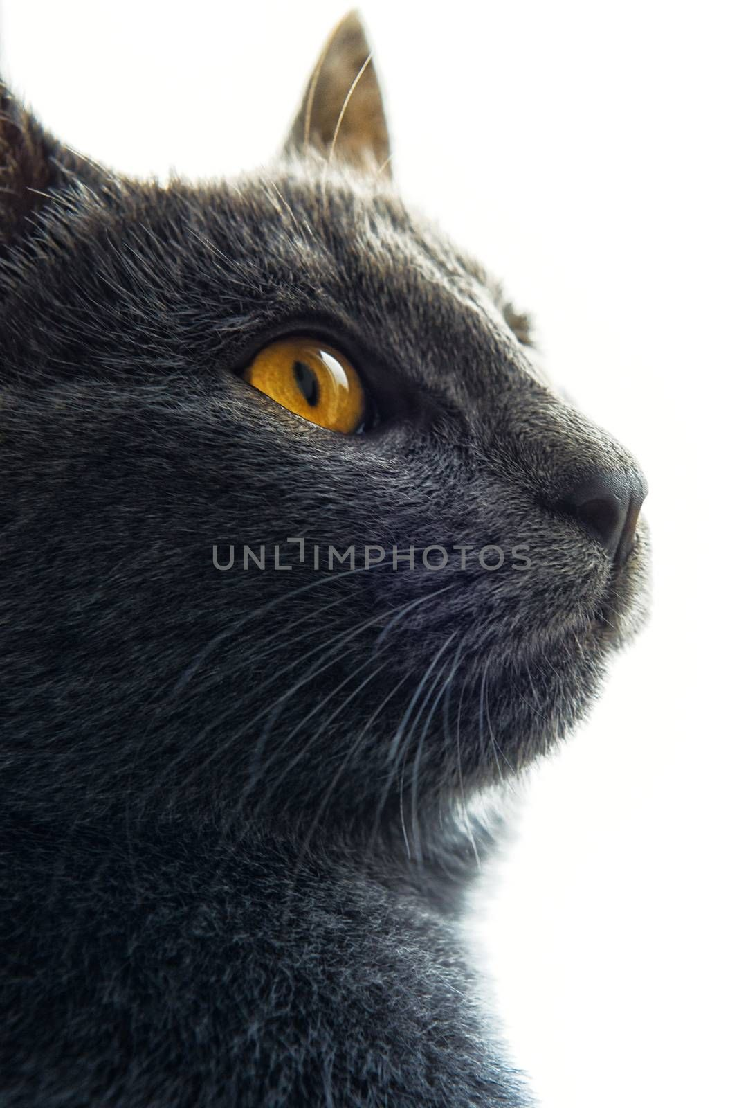 Gray cat with yellow eyes looking up