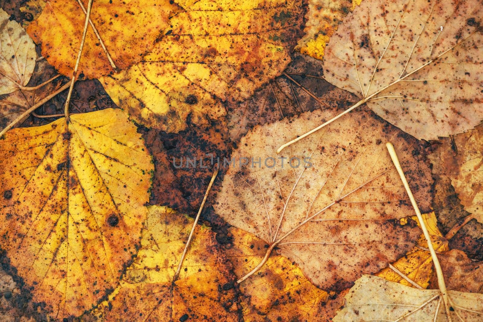Wet autumn leaves on the ground as background, fall season texture