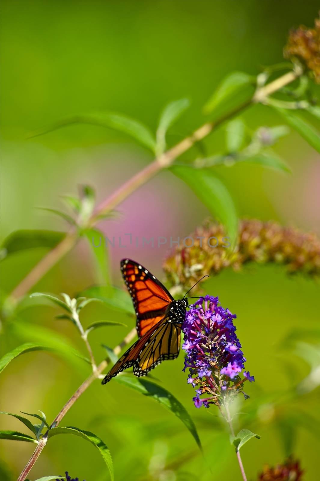 Summer Butterfly - Monarch Butterfly. Vertical Photo