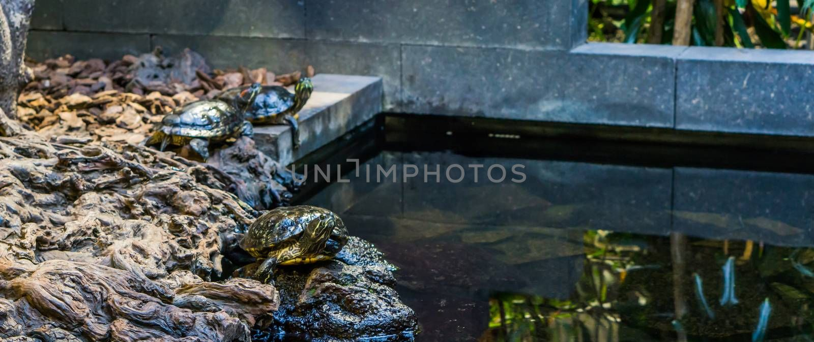 portrait of a cumberland slider turtle on the water side, two other turtles in the background, tropical pets from the rivers of America