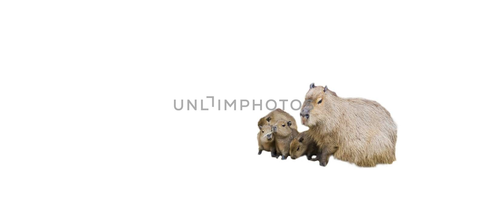 Animal family of capybaras, capybara mother with her baby puppies, Isolated on a white background