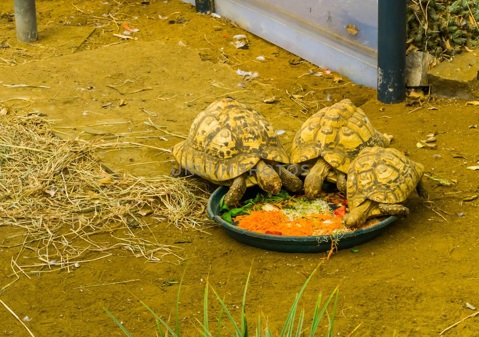 small tortoises eating vegetables, taking care of reptiles, popular tropical pets by charlottebleijenberg