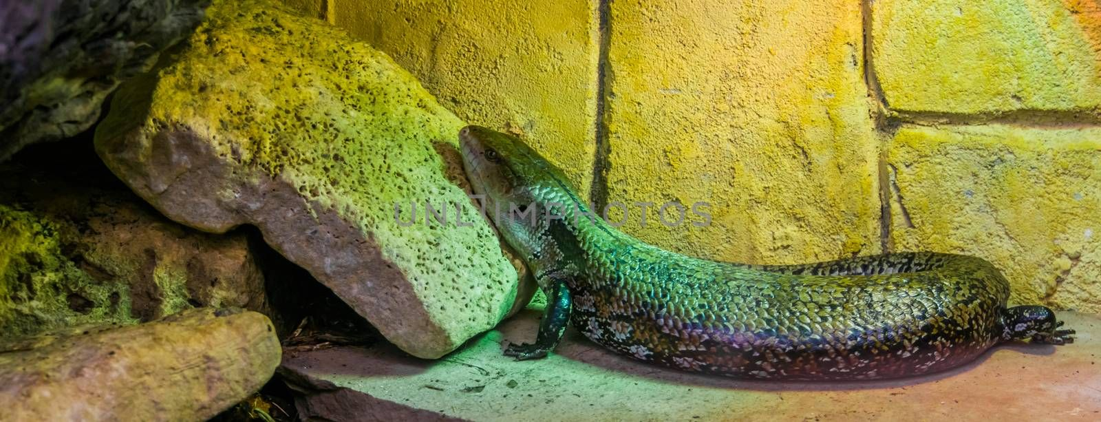 common blue tongued skink in closeup, tropical lizard from Australia and Indonesia, popular pet in in herpetoculture