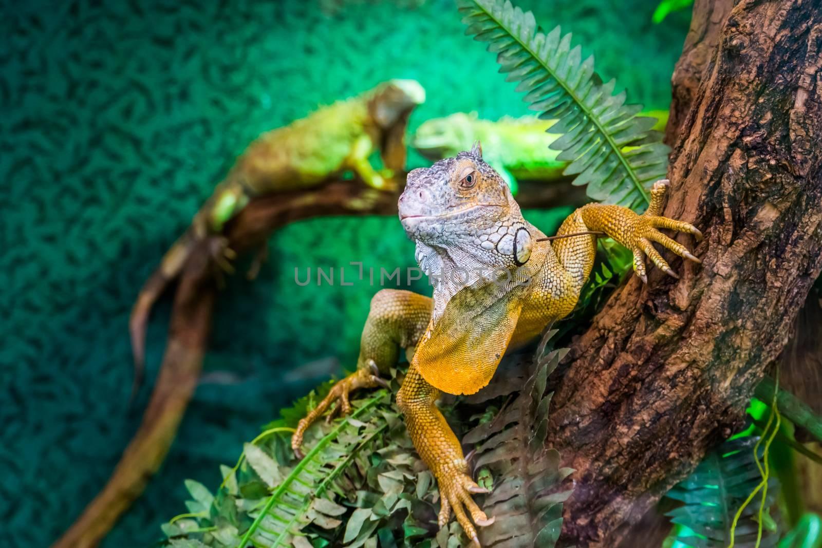 beautiful closeup portrait of a american green iguana in a tree, tropical lizard specie from America, popular exotic pets