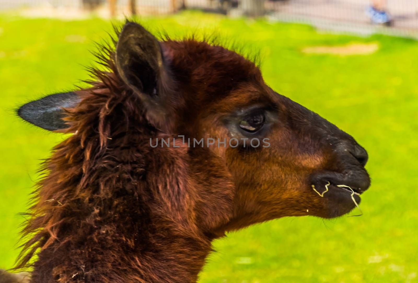 Closeup of the face of a brown alpaca chewing on some hay, popular pets on the animal farm