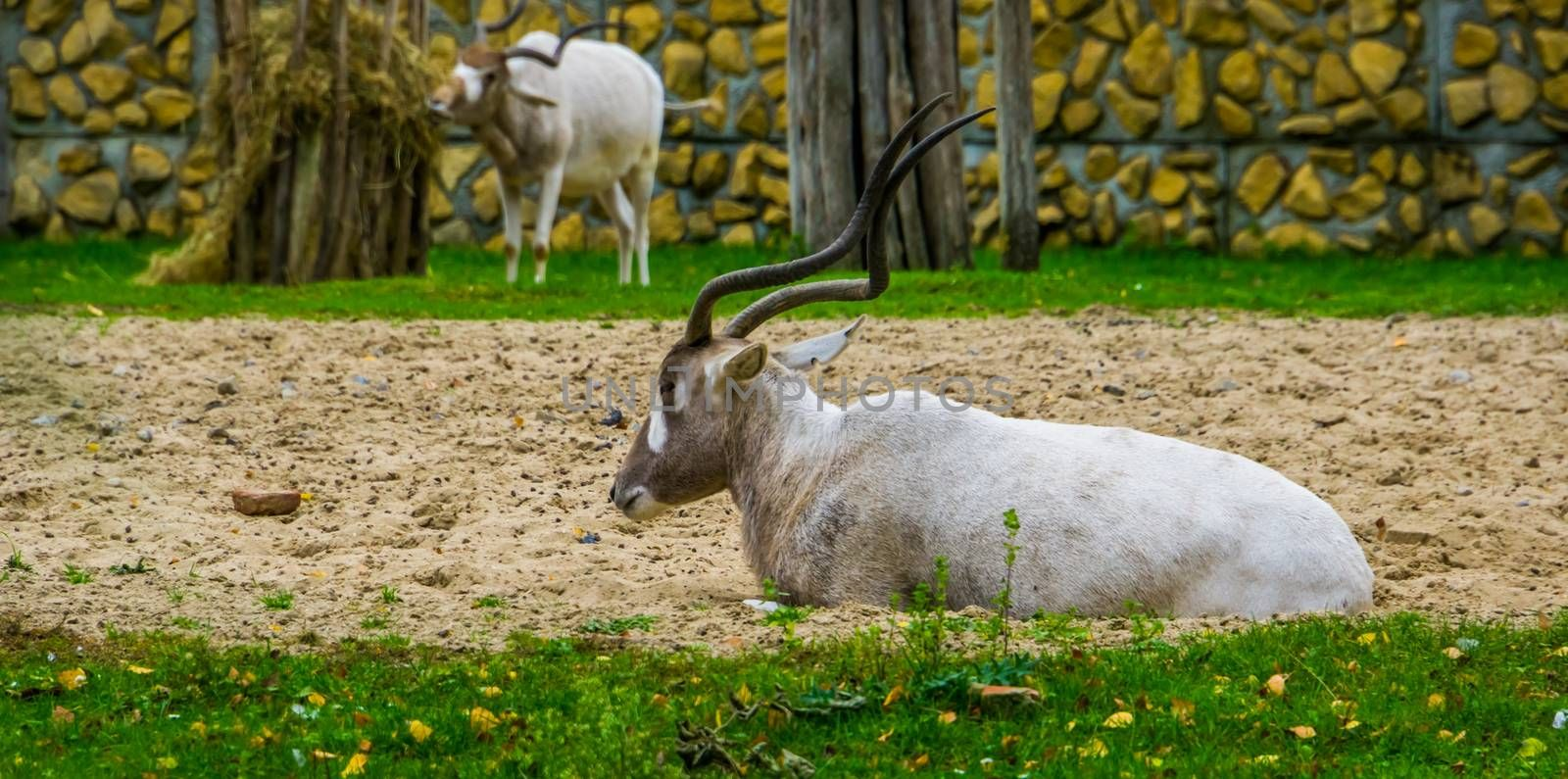 white screwhorn antelope sitting down, critically endangered animal specie from Africa