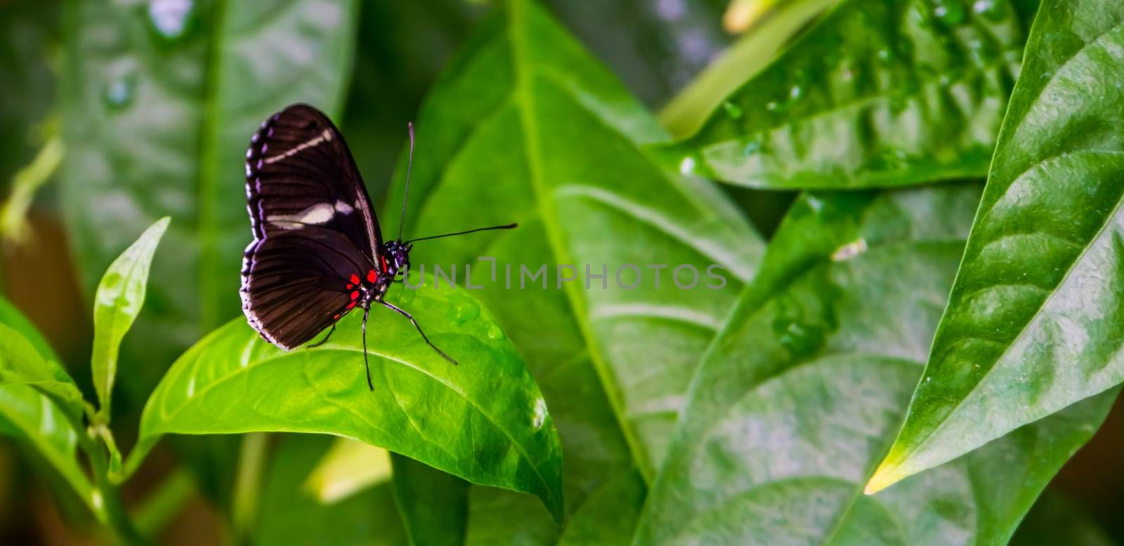 Side view of a sara longwing butterfly, tropical insect specie from the amazon basin of America
