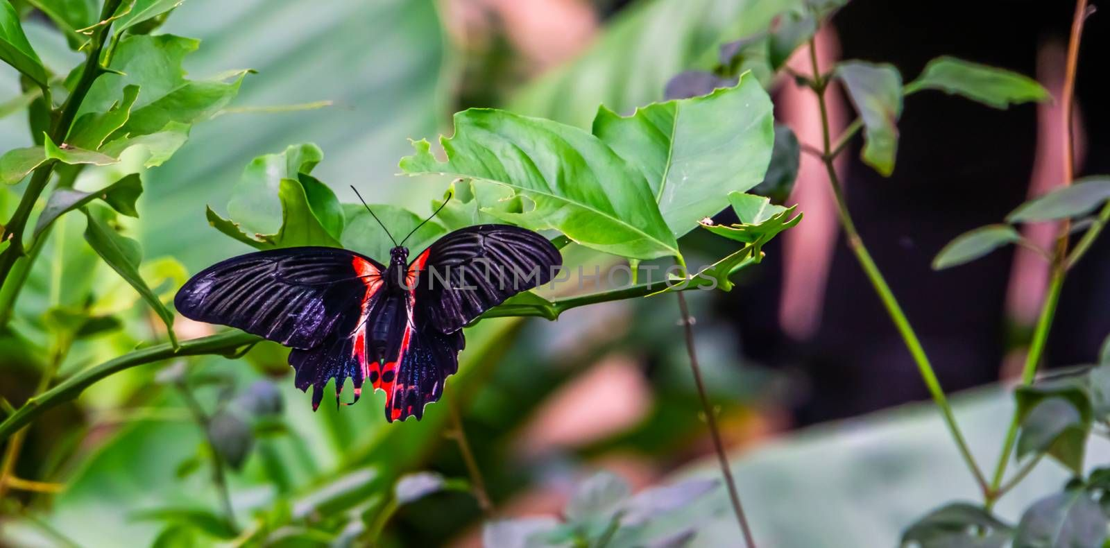 closeup of a red scarlet butterfly sitting on a leaf, tropical insect specie from Asia