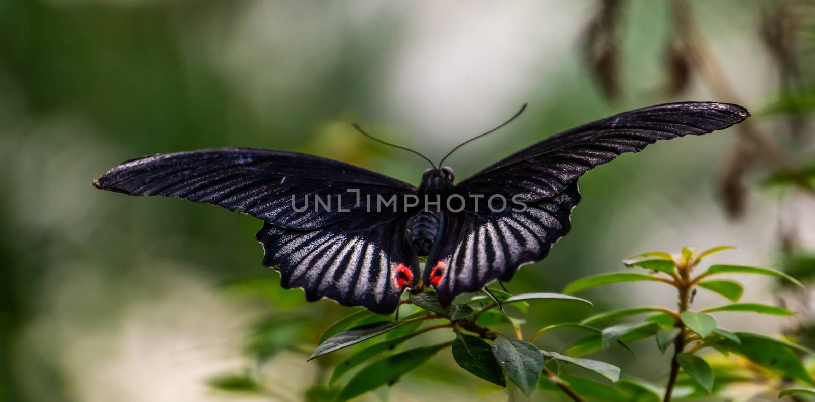 Red scarlet butterfly in macro closeup, tropical insect specie from Asia
