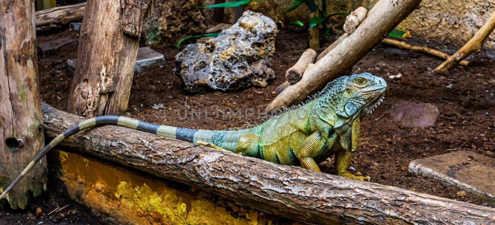 green american iguana in closeup, popular tropical reptile specie from America