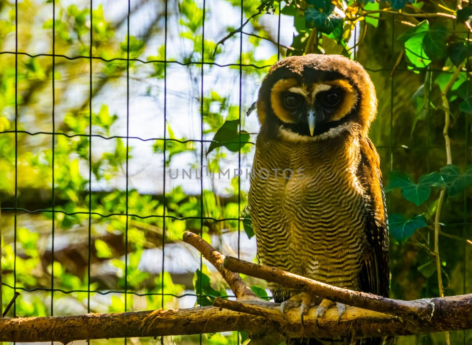 brown wood owl sitting on a branch in closeup, tropical bird specie form Asia