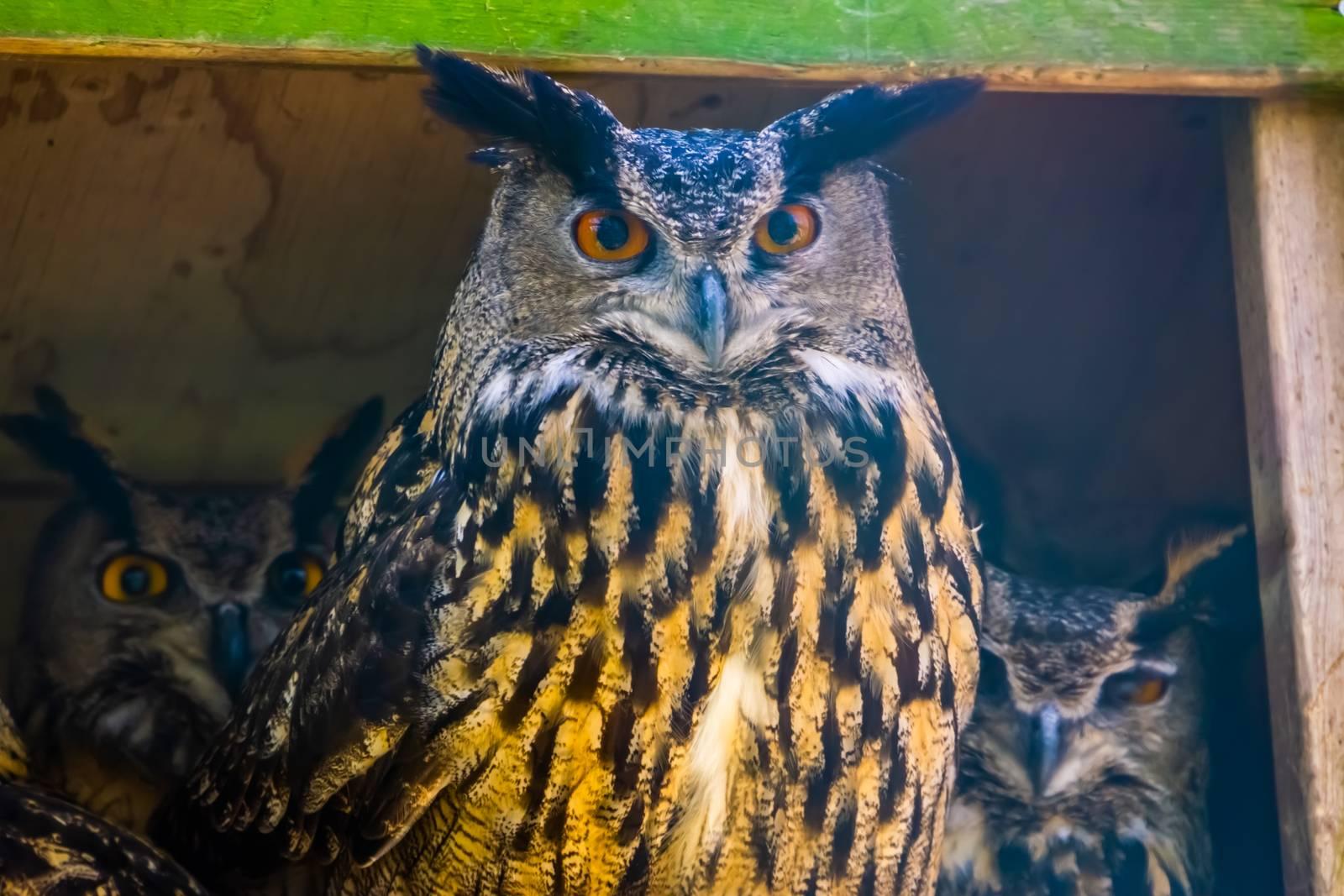 beautiful closeup portrait of a eurasian eagle owl, popular bird specie form Eurasia