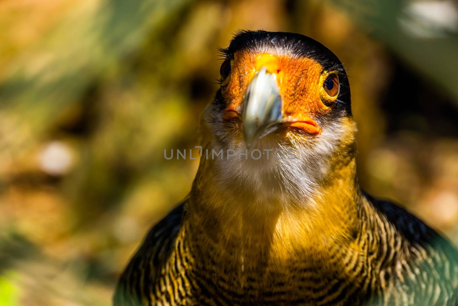 beautiful closeup portrait of the face of a southern crested caracara, tropical bird specie from america