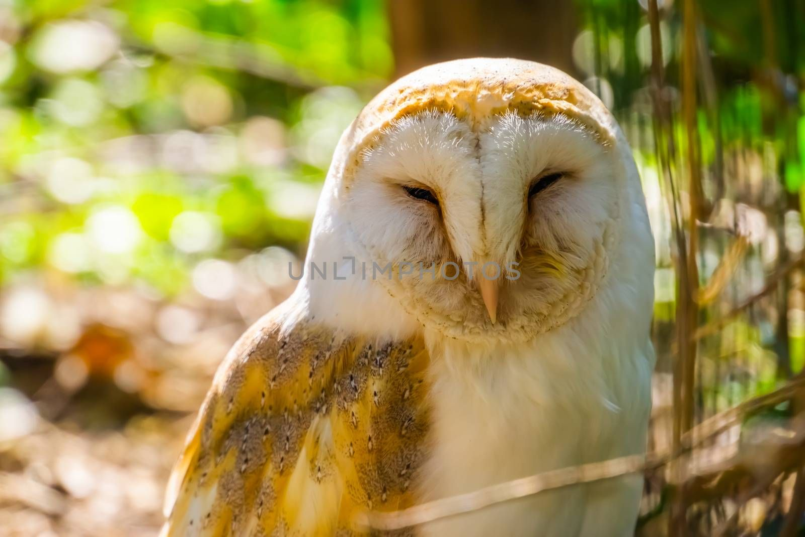 the face of a common barn owl in closeup, bird specie from the Netherlands