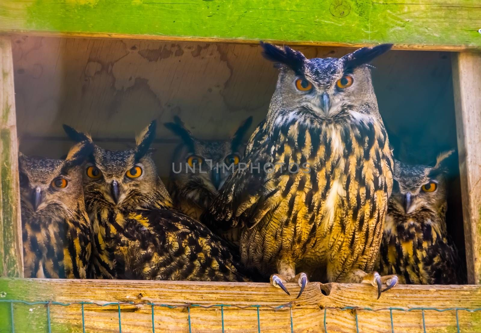 family portrait of eurasian owls, popular bird specie form Eurasia