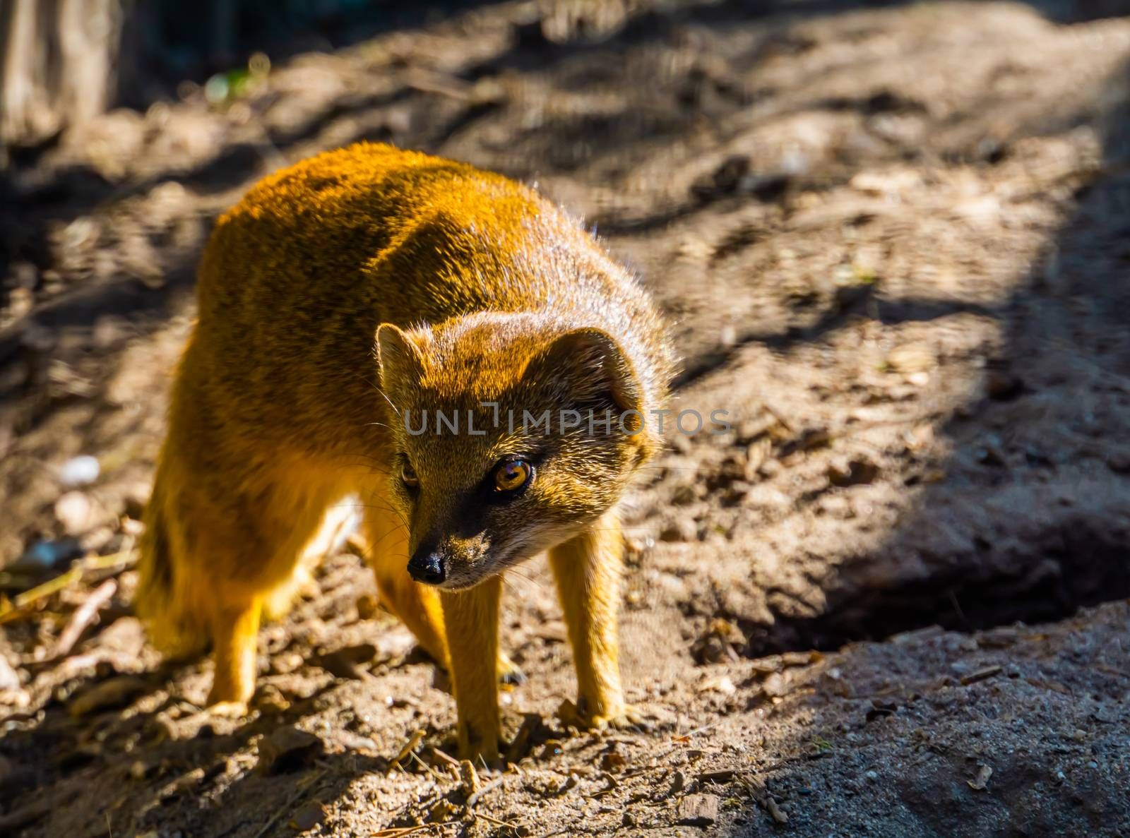 closeup portrait of a yellow mongoose, also known as the red meerkat, tropical animal specie from Africa