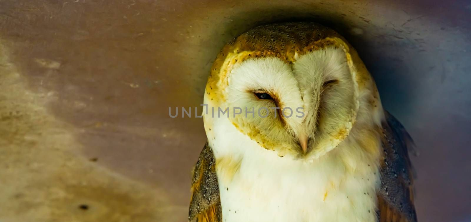 closeup of the face of a common barn owl, bird specie from the Netherlands