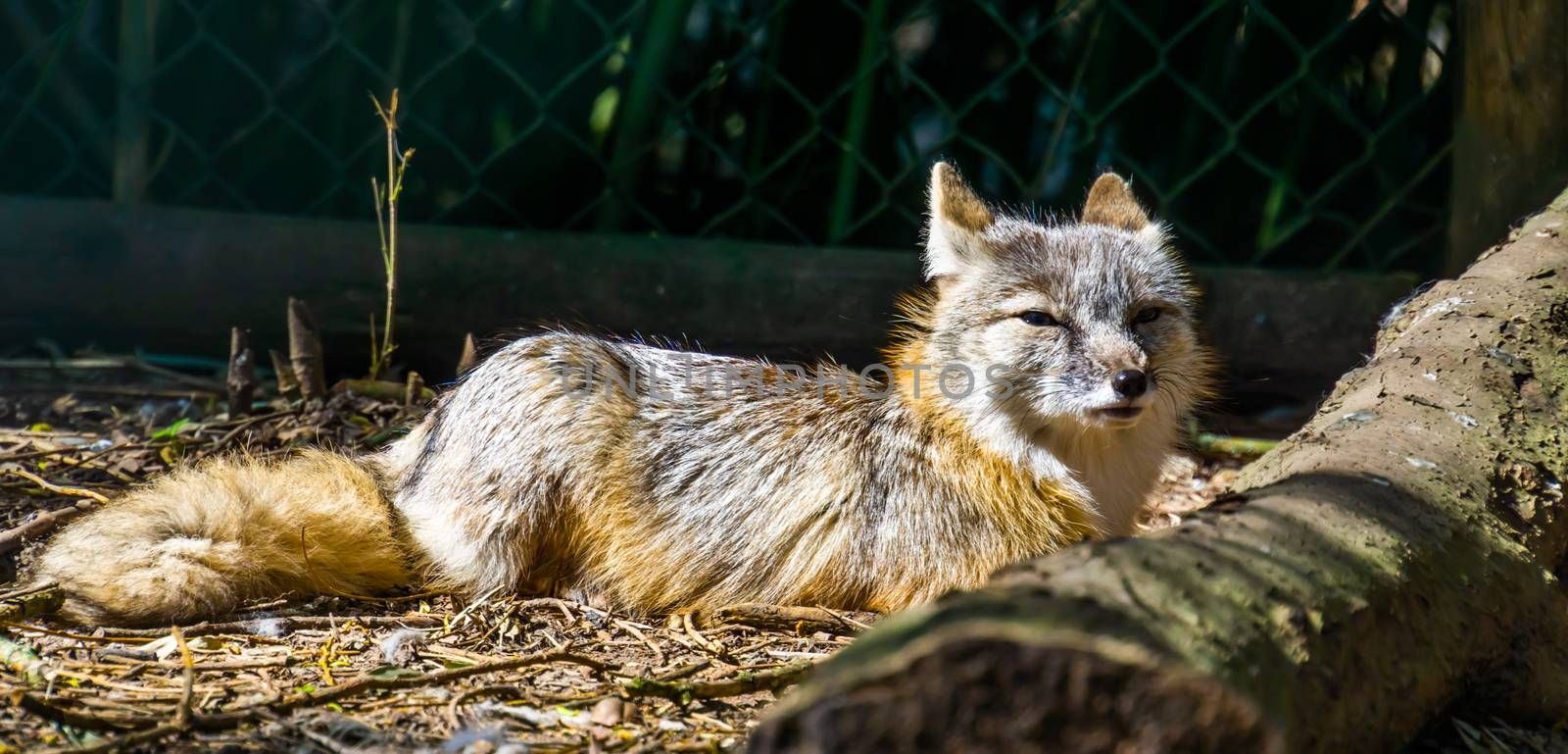 corsac fox sitting on the ground in closeup, tropical wild dog specie from Asia