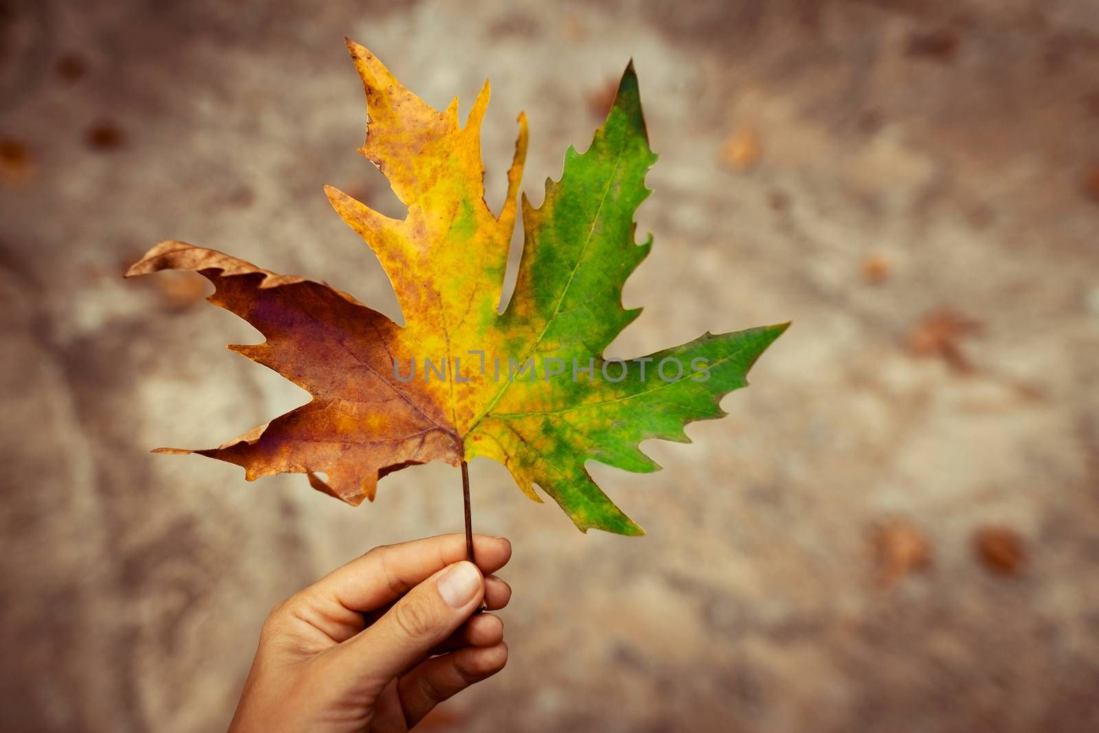 Multicolored Maple Leaf in Hand of Girl. All Seasons in one Leaf of a Tree. Amazing Beauty of Autumn.