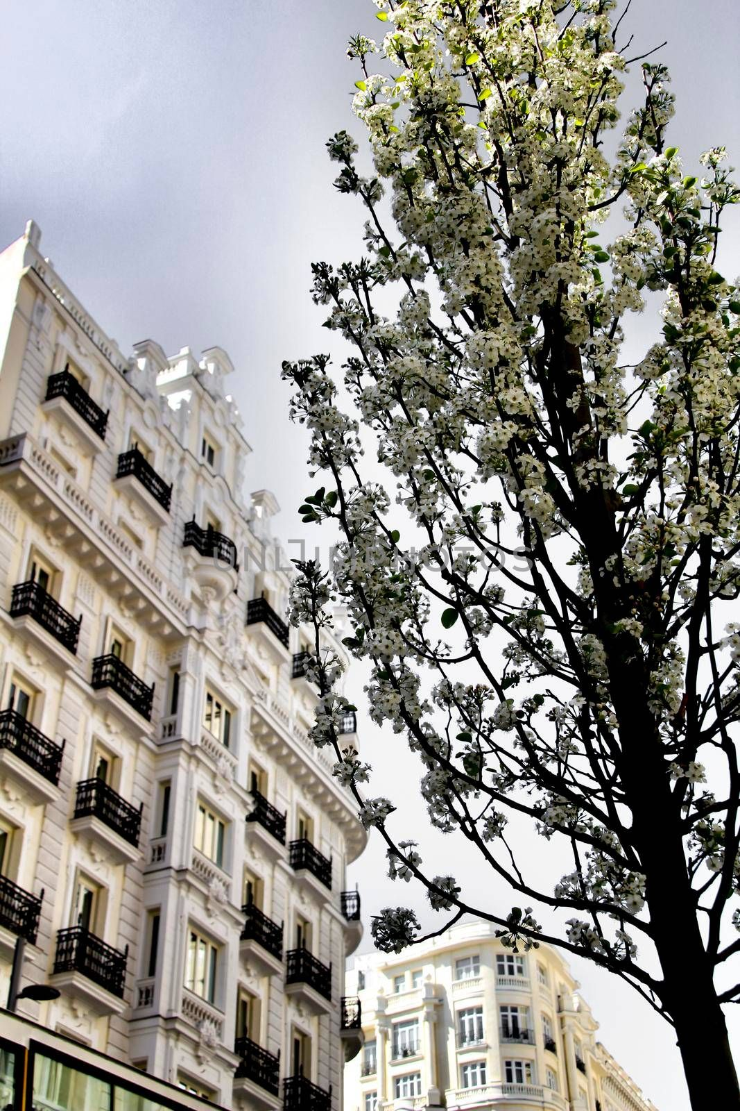 Beautiful tree with white flowers in the street in Madrid in Spring. Vintage facades in the background.
