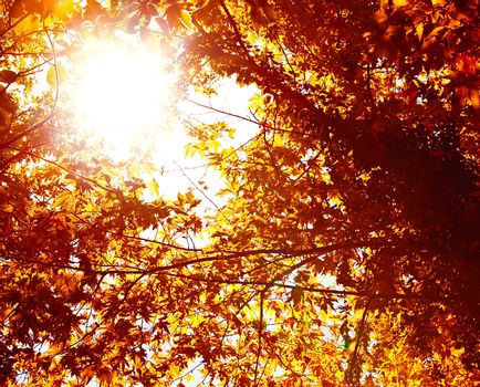 Picture of abstract autumnal background, nature environment, beautiful golden leaves backdrop, shiny sunlight though dry orange trees foliage, autumn season, fall nature, maple trees leaf