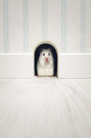 Hamster standing in his den in a house